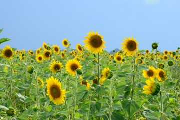 zonnebloemen marcel sigg