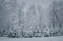 kerstbomen-sneeuw-by-david-leavitt