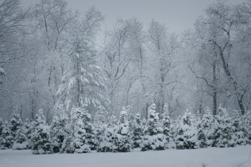 kerstbomen-sneeuw-by-david-leavitt